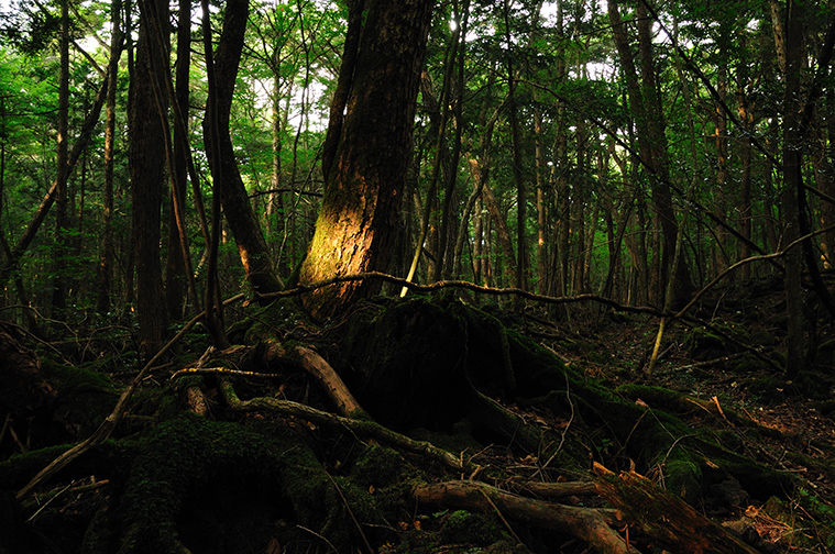 Aokigahara_forest_01-1