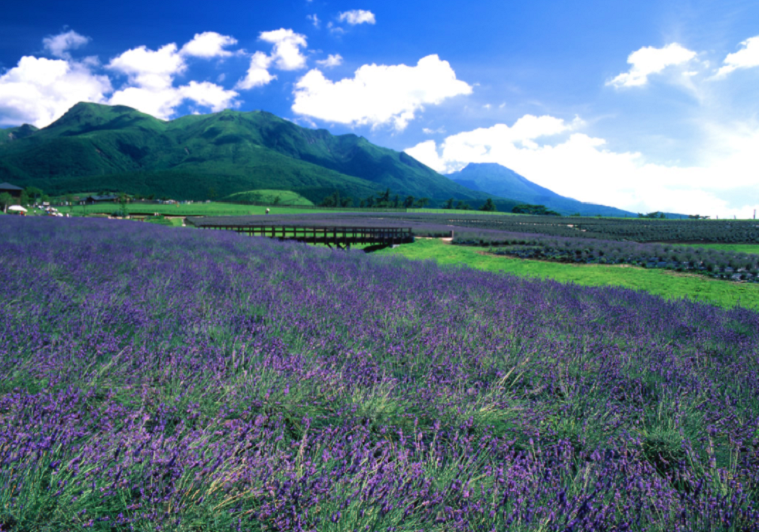 kuju lavender