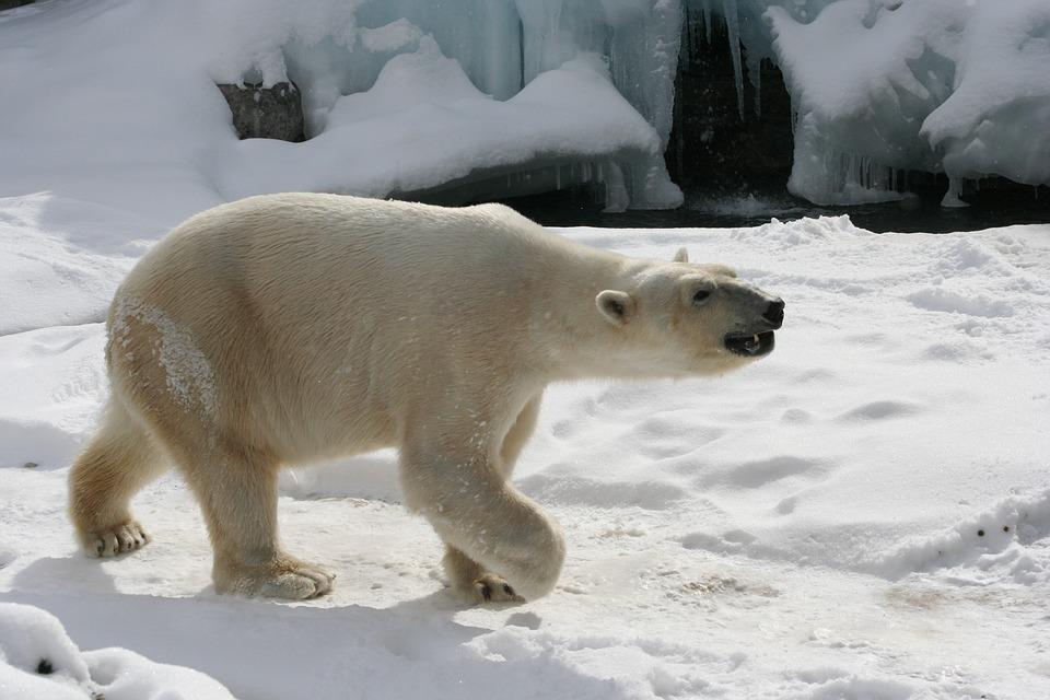 polar-bear-640895_960_720