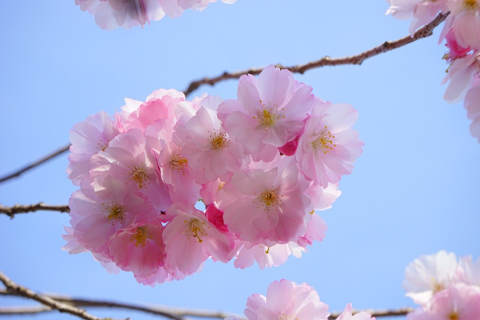 japanese-cherry-trees-324183_960_720