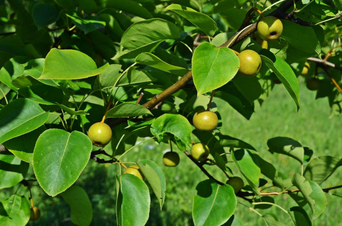 pear_asian_pear_tree_sad_garden_closeup_nature_foliage-873105