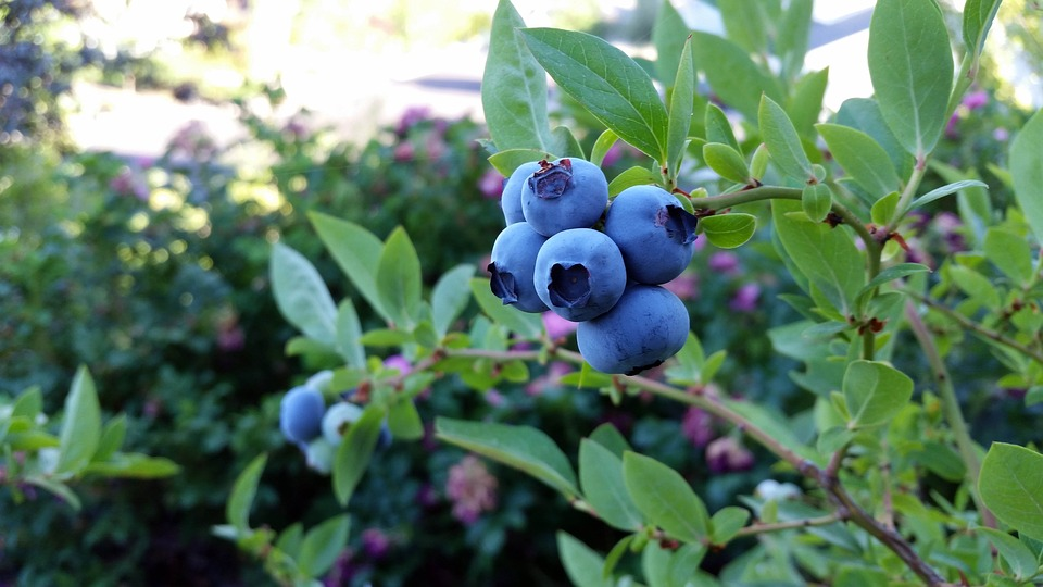 rubel-blueberry-2918485_960_720