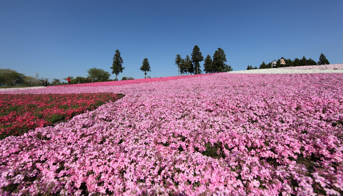 high_hires_resolution_5d_hi_saitama_res_phlox-513321